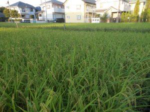 9/4の画像です、日本の米、元気に生長!11月23日の新嘗祭の日にご奉納とか。